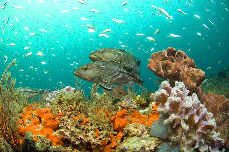 Sea bass at Gray's reef near Savannah