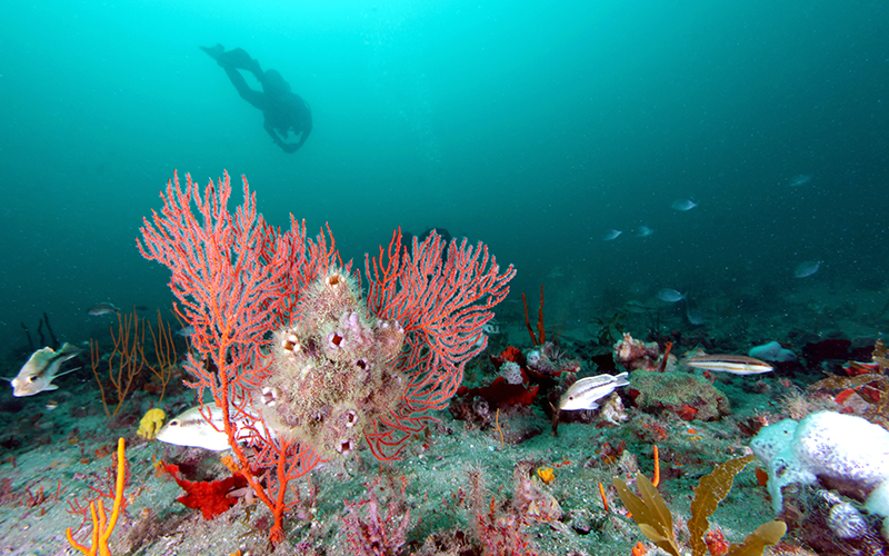 Diver at Gray's Reef near Savannah