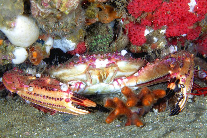Crab at Gray's Reef near Savannah
