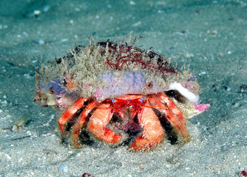 Hermit crab at Gray's Reef near Savannah