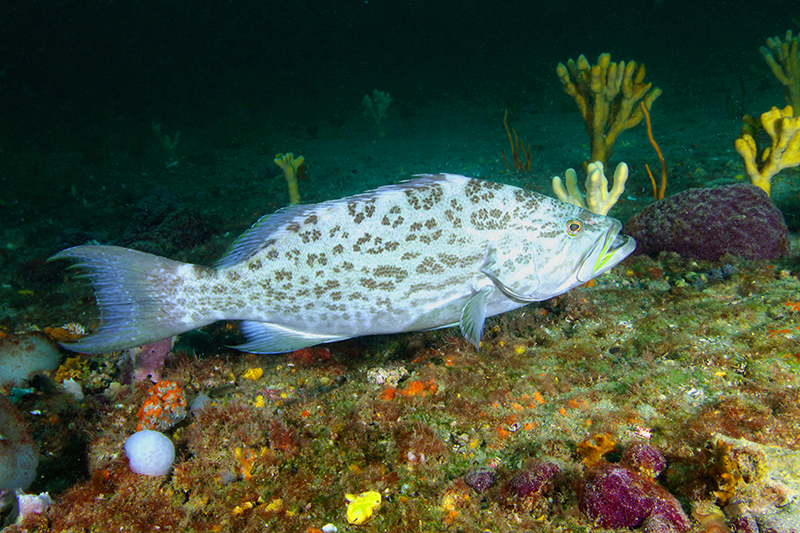 Scamp grouper at Gray's Reef near Savannah