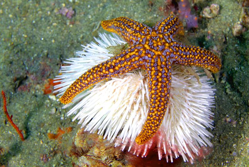 Sea star and urchin at Gray's Reef near Savannah