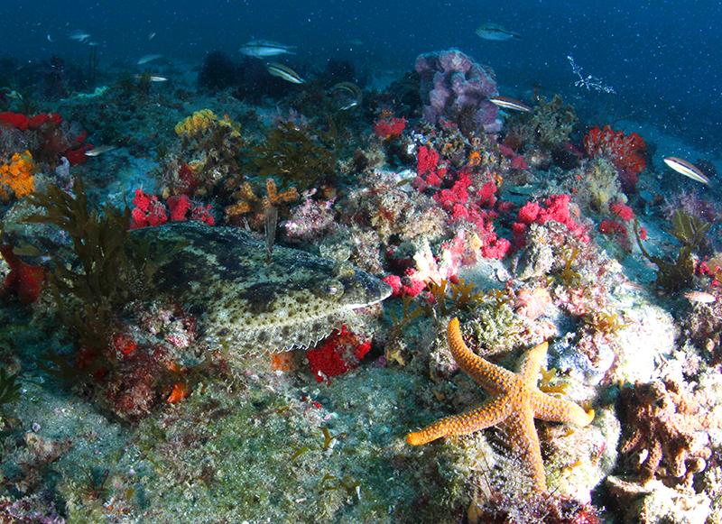 Flounder and sea stars at Gray's Reef near Savannah